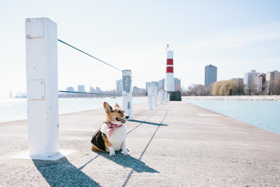corgi-chicago-pet-photography