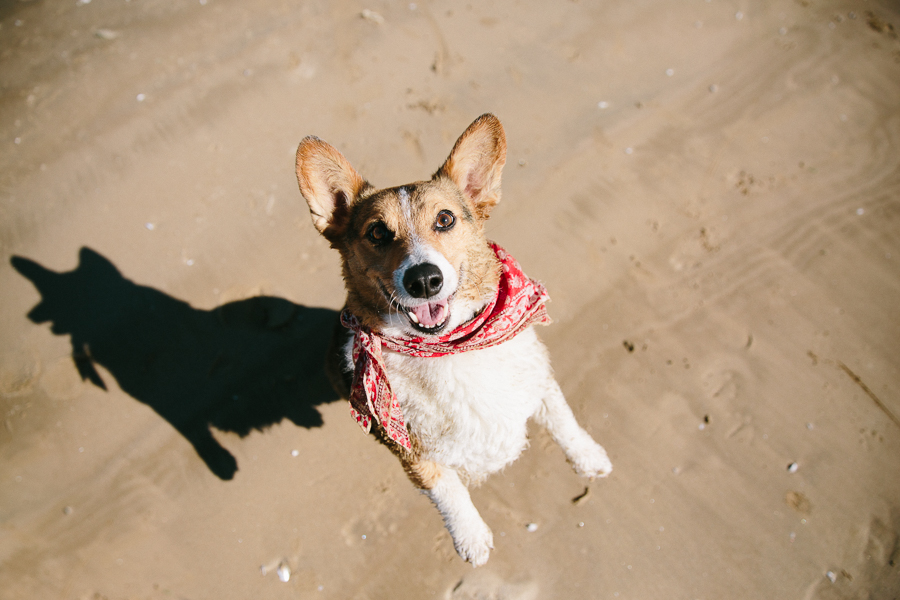 corgi-chicago-beach-pet-photography