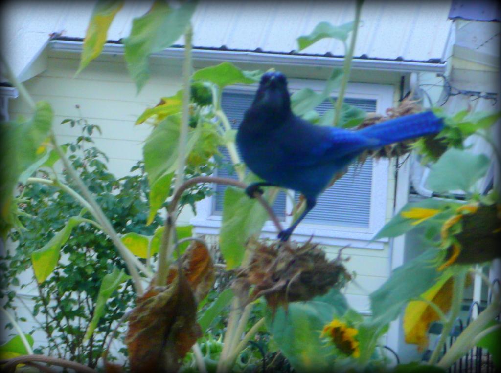 Blue jay on sunflowers