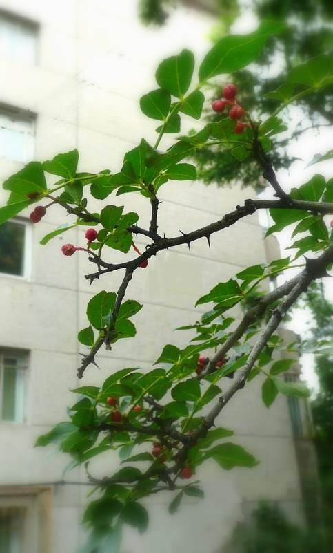Hua jiao - pepper bush
