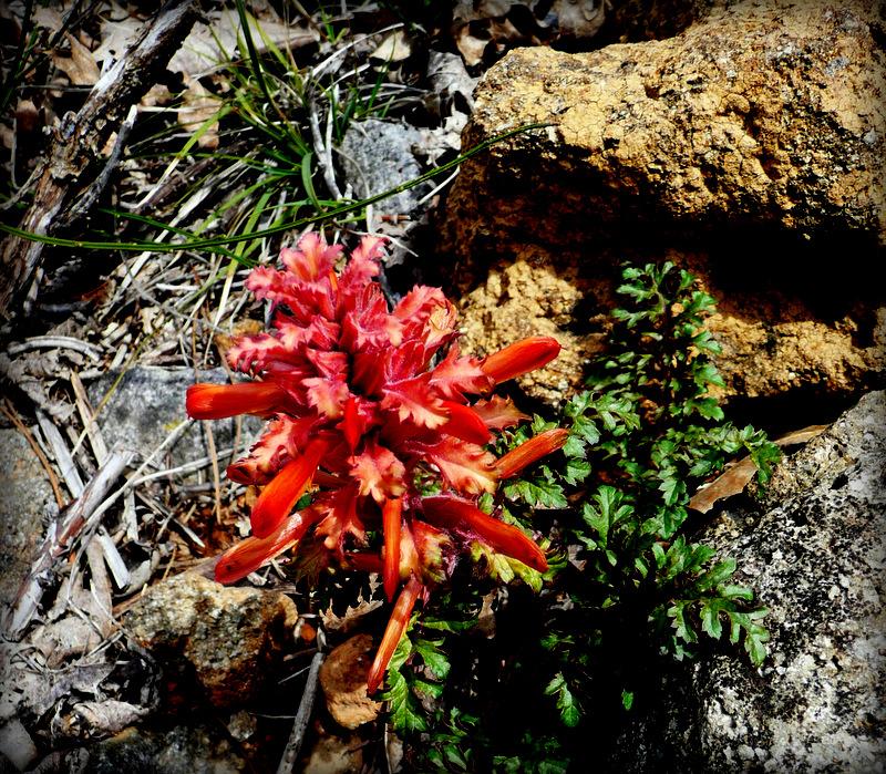 Indian Warrior, Pedicularis densiflora