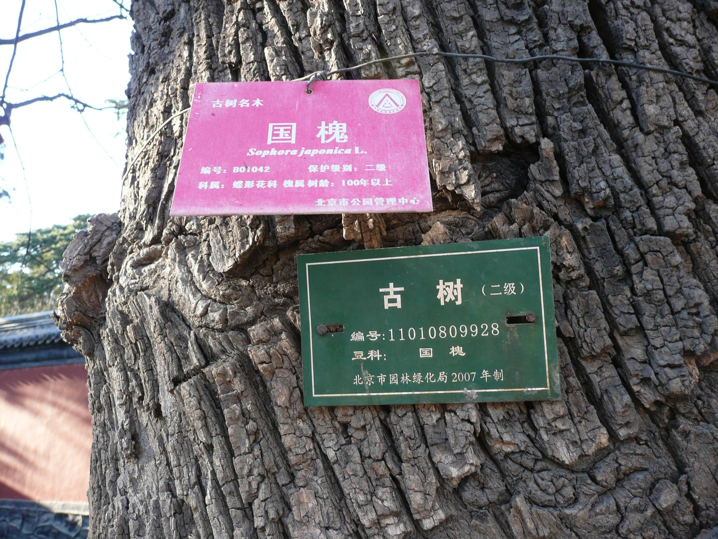 Sophorus japonica