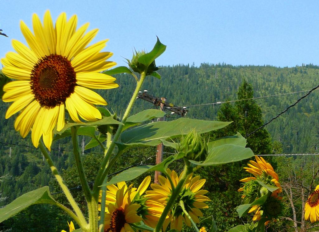 Sunflowers over Mt Bradley