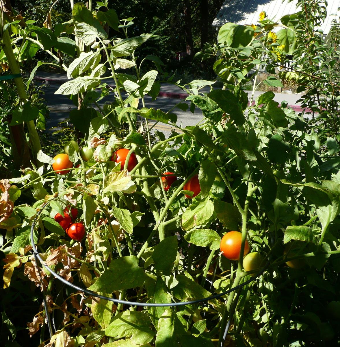 Tomatoes, fangie, xihongshi