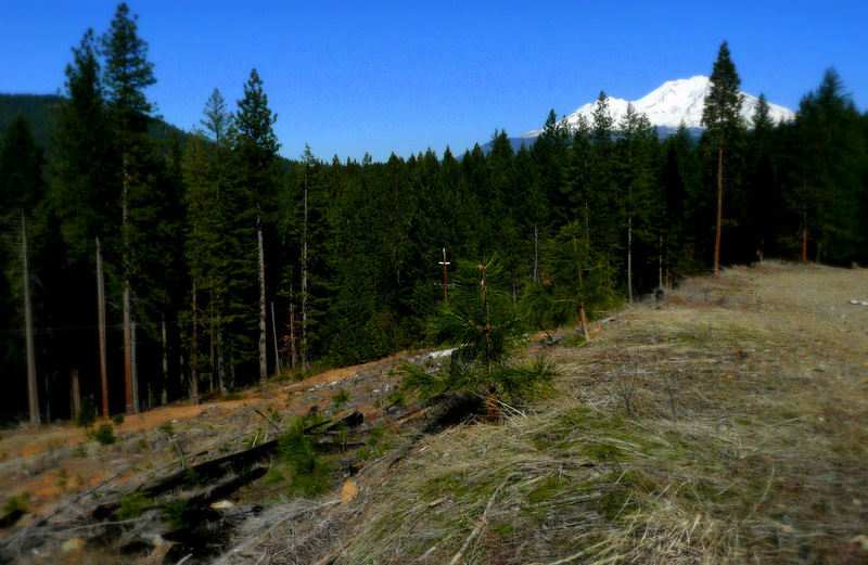 Yellow pine seedlings and Mt Shasta BaiSha