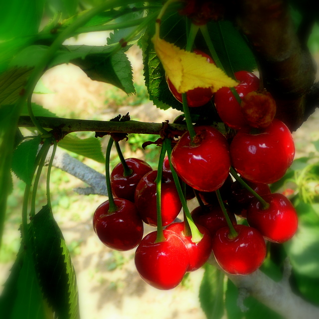 early cherries