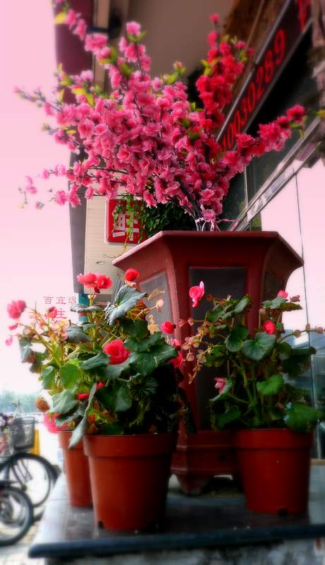 red begonias and geraniums