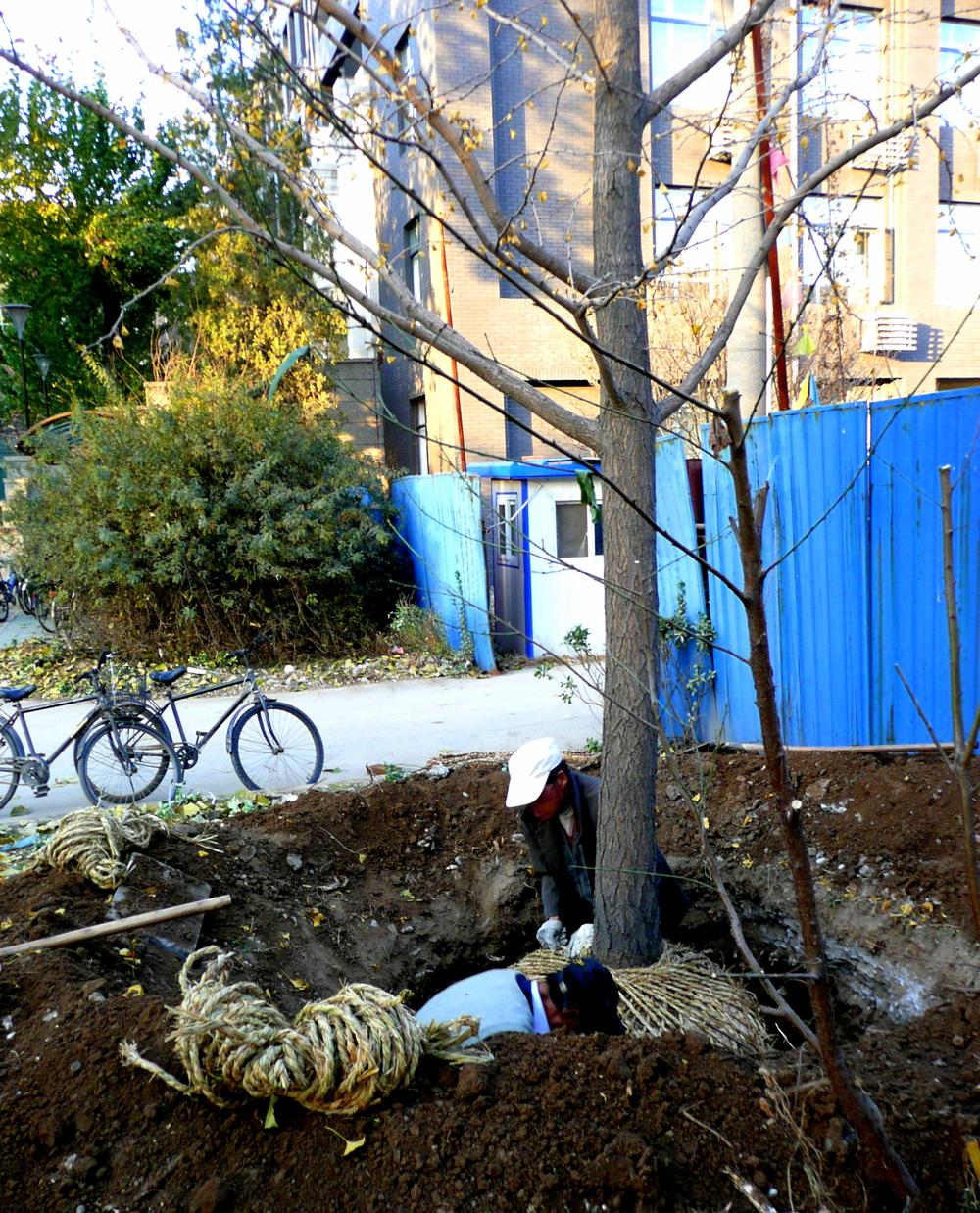transplanting large tree