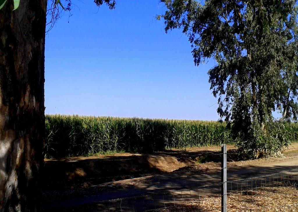 Cornfield and eucalyptus along I-5.