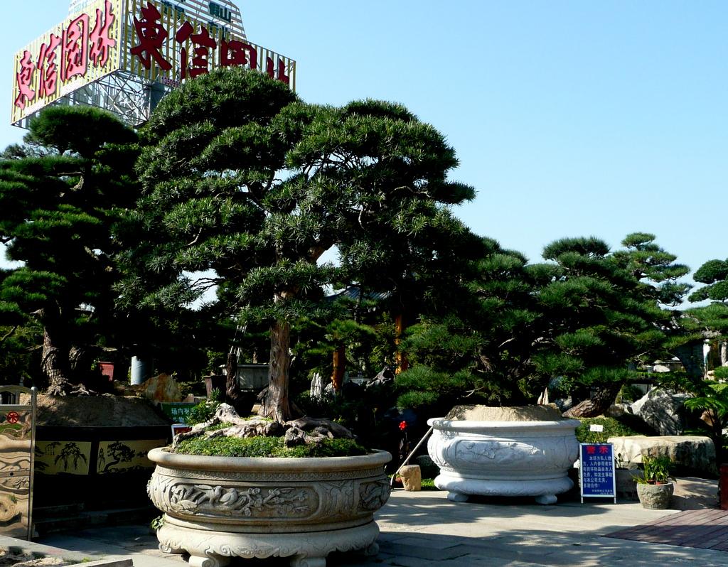Jing guan shu-- monumental bonsai