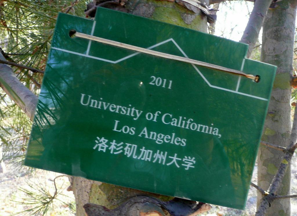 UCLA tree