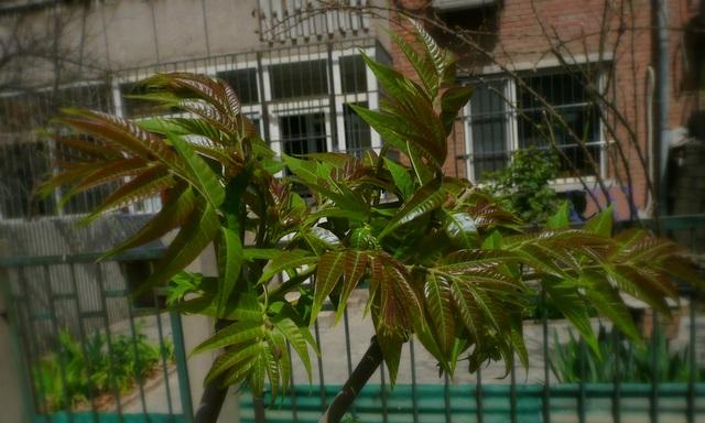 Cedrela sinensis