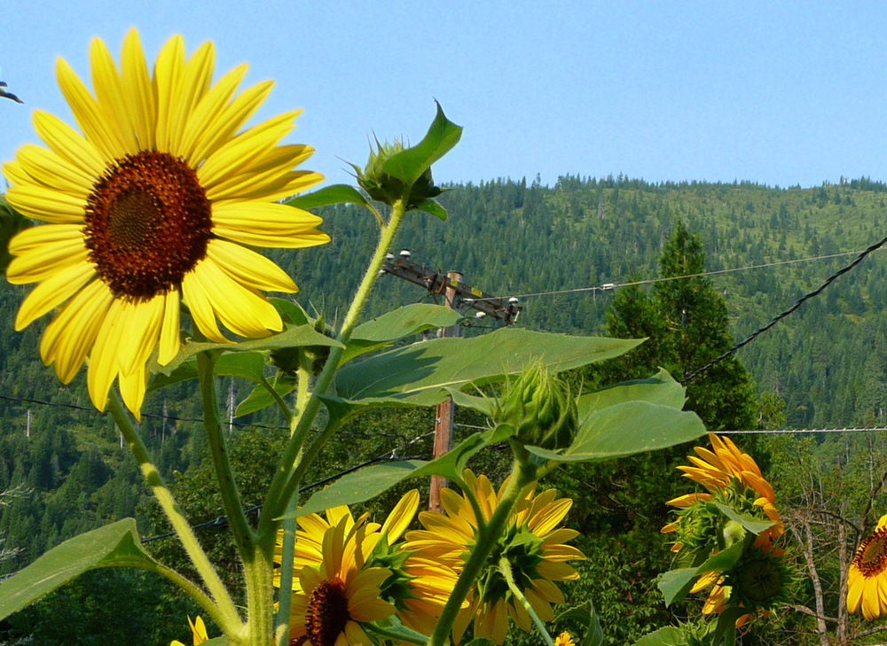 Sunflowers over Mt Bradley