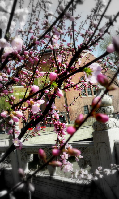 Cherry blossoms at Qingming