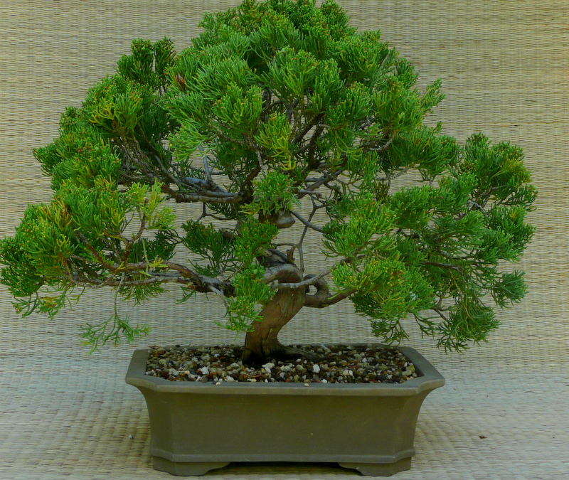 Juniperus chinensis 'Shimpaku,' imported from Japan by Iseli Nursery, 12x9x3.5                                       $ 90