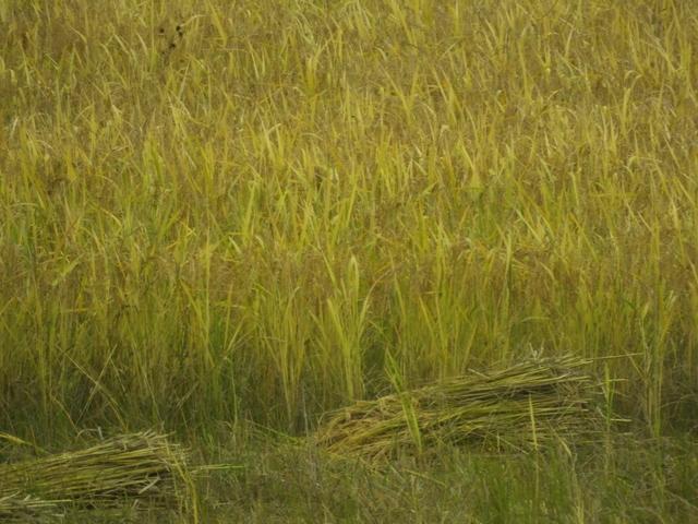 Rice Sheaves