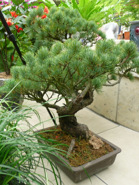 Pinus parviflora in a bonsai dish seen at Kimilsungia&Kimjongilia Exhibition Hall.