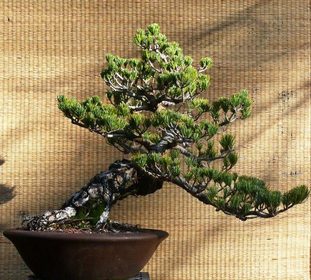 White Pine -- Pinus Parviflora
