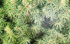 Picea glauca 'Conica' -- White Spruce