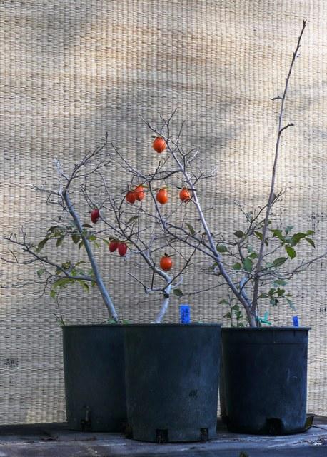 Diospyros rhombifolium