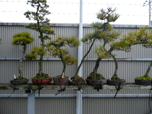 Bonsai - Bunjin