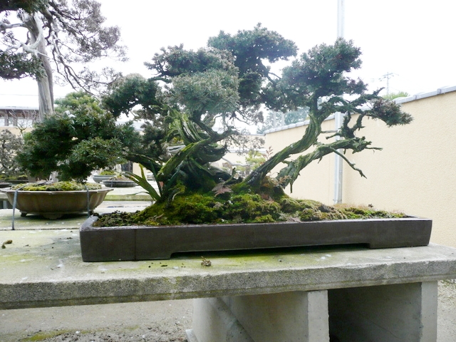 Bonsai - Yoseue