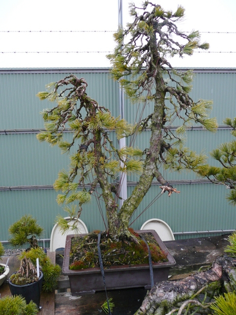Bonsai - Soka