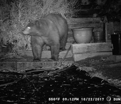 The black bear, Ursus americanus altifrontalis, range is in the Pacific Northwest coat from British Columbia, northern California and across to Idaho.  A game trail runs through my yard from before the time we bought our house in the 90s or before that.