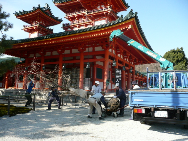 Heian-jimgu Shinto Shrine Complex - transplanting a tree with a little crane truck