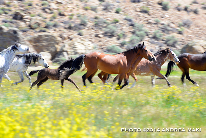 Running wild with Challis wild horses, 2014.