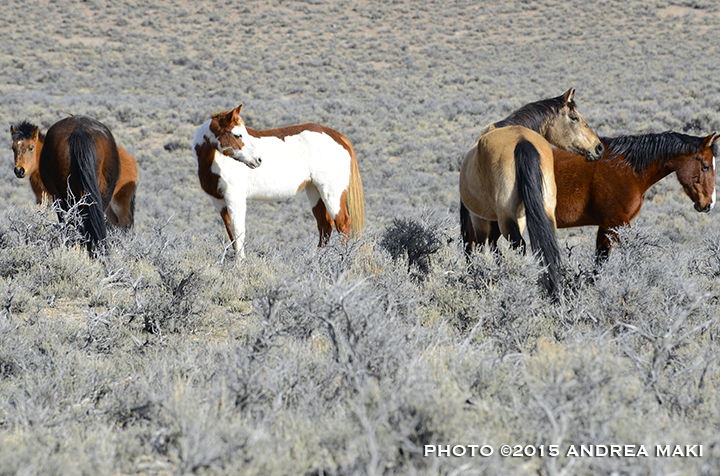 Band of wild Challis horses remains wild on the range.