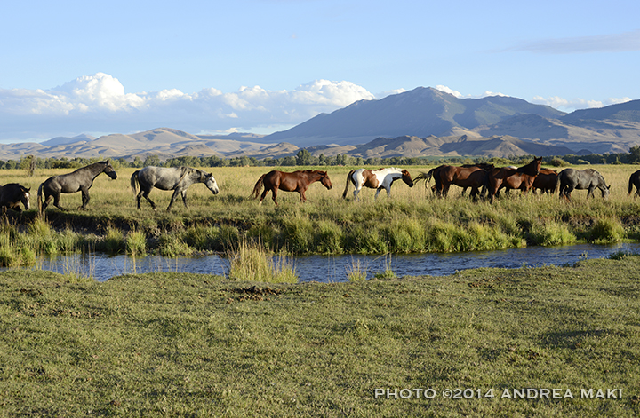 Some of the 135 Idaho wild horses, forever wild and together, on their home turf at Wild Love.