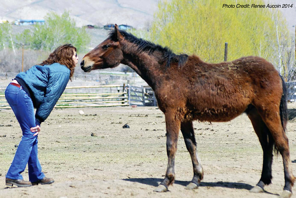 Andrea greeted by one of  Wild Love's 130 adopted Challis wild horses, and shedding his winter coat, May 2014.