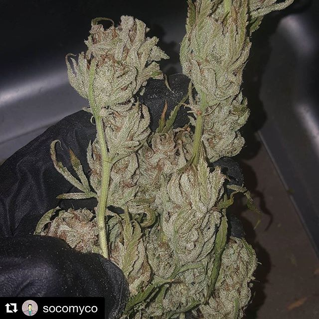 Some frosty Apocalypto grown by @socomyco 🐊#Repost @socomyco with @repostapp ・・・ This #apacalypto from #swampboyseeds is some serious ⛽⛽, #credittothefarmer #wfayo #allgasnobrakes #topshelflife #terpcity #ogkush #kusharmy #higherthanmost #fueledbythc #420 #terps #loudpack #faded #iwillmarrymary #smokeyourown #smokesuffa #bitxhimhigh