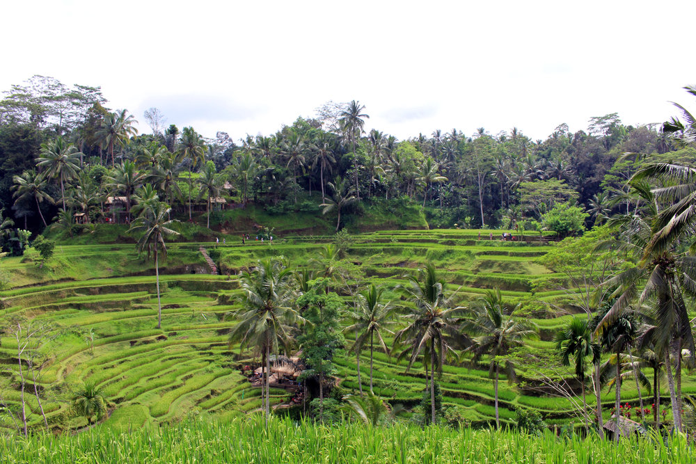 The Tegalalang Rice Terrace in Ubud