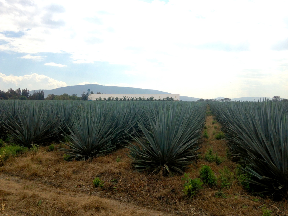 Driving back to Mexico City from the state of Jalisco we had to stop and admire the rows and rows of Blue Agave, these are used to make Tequila!!
