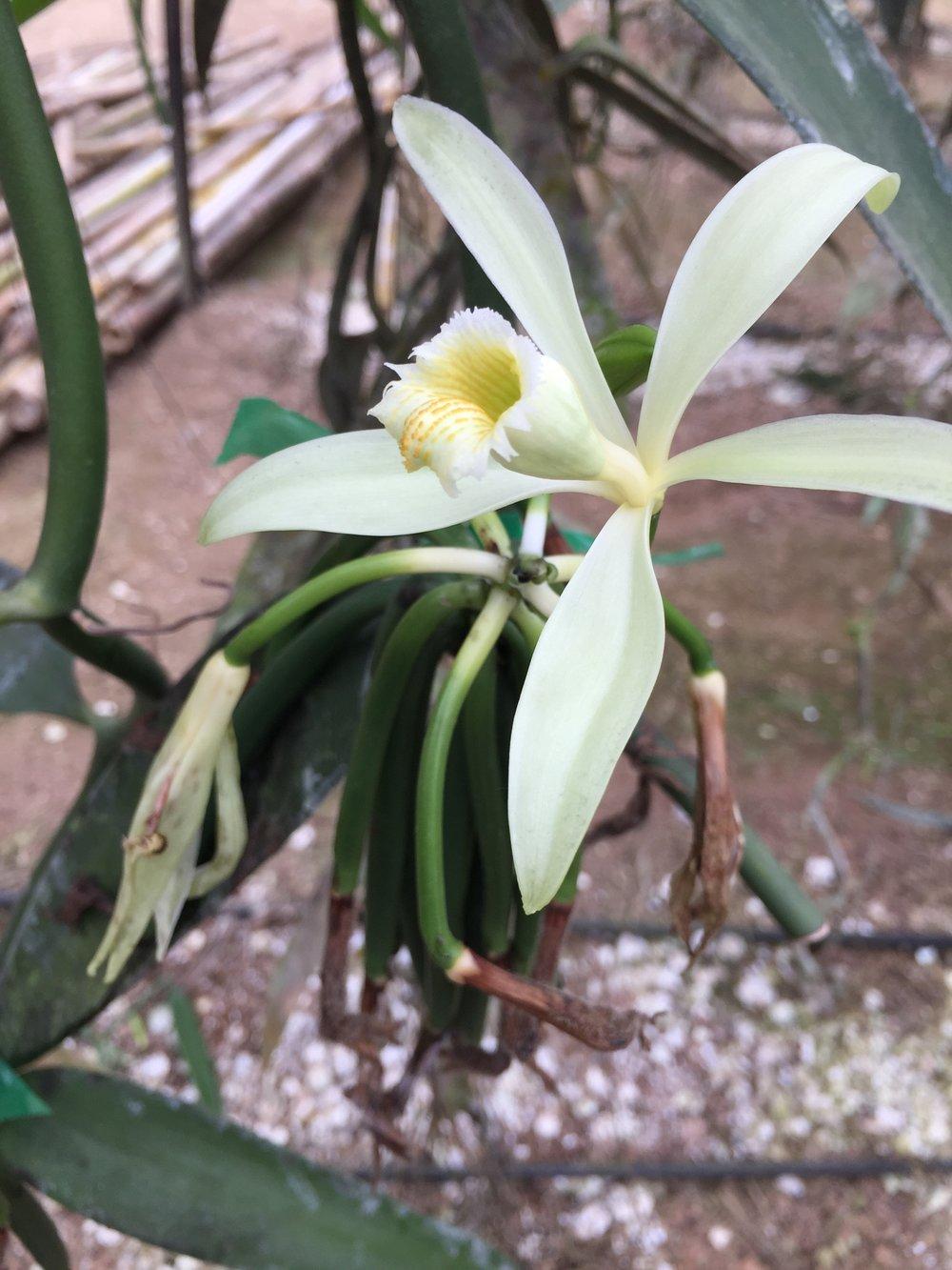 Vainilla - orquídea
