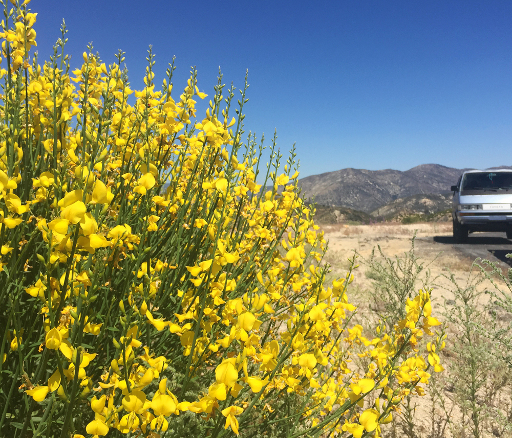 Flowers in the Angeles National Forest
