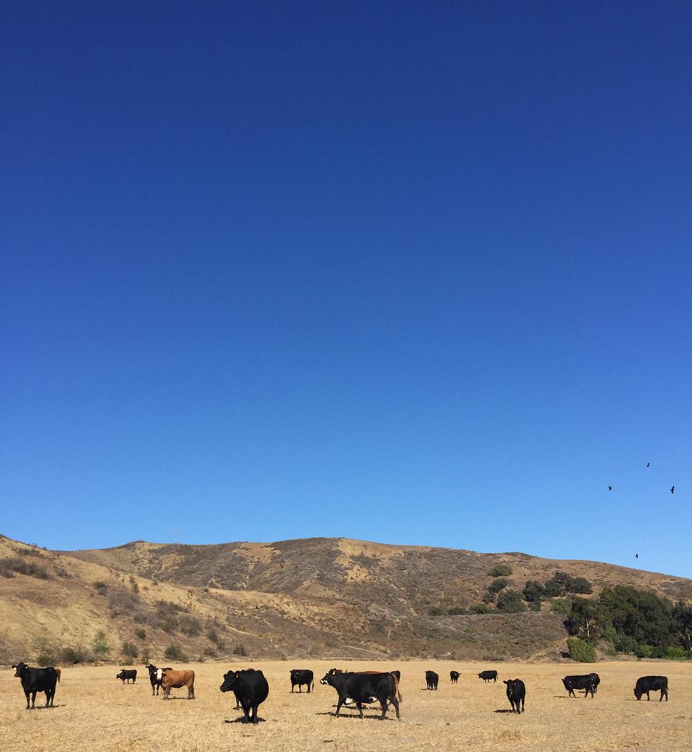 Cows in Ojai, CA