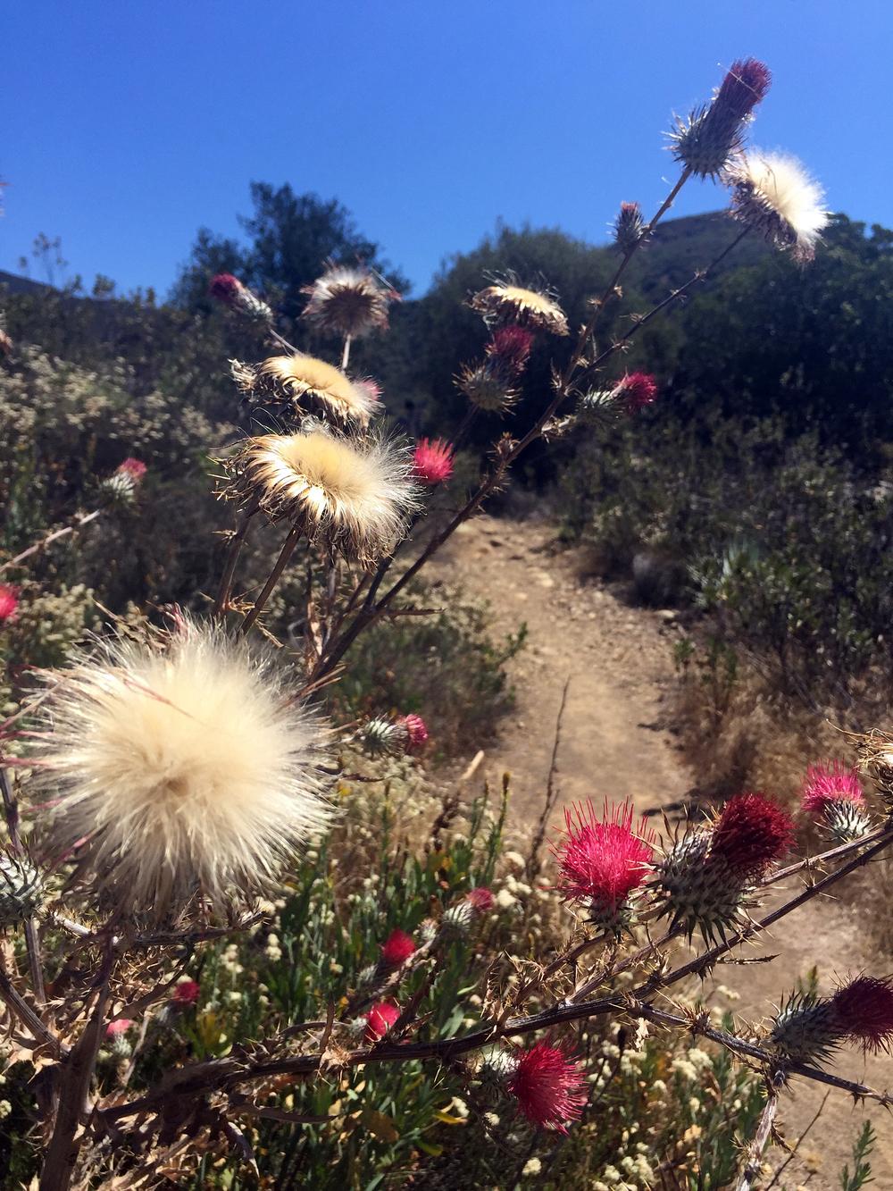 Flowers in Matilija Canyon in Ojai, CA