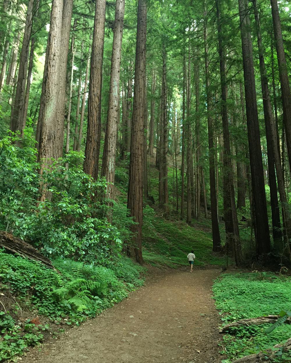 Henry Cowell Redwoods State Park in Santa Cruz, CA