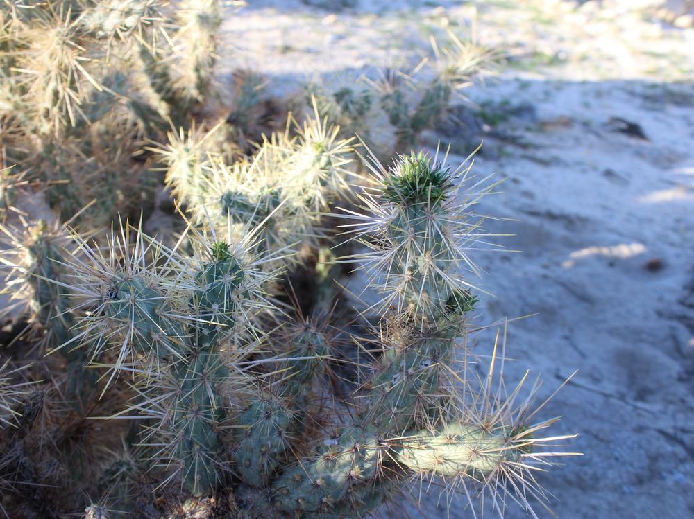 Desert Gardens in Anza Borrego National Park