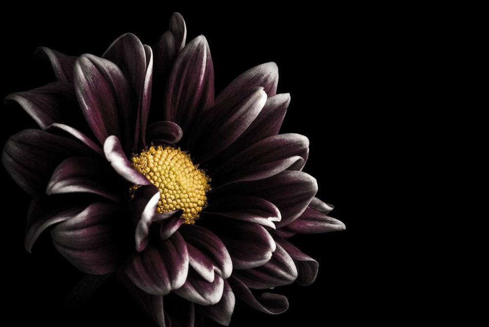 Daisy Mum Flower