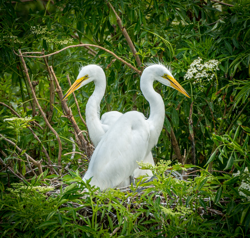 Egrets side by side