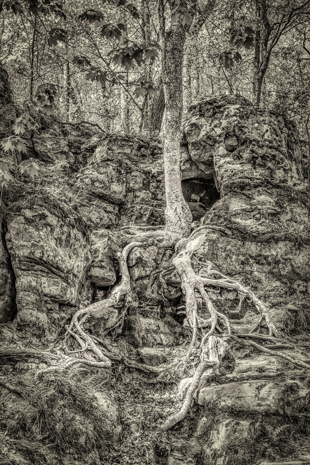 Tree at Parfrey Glen II