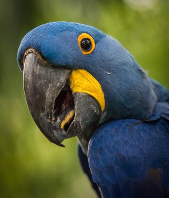 Parrot Closeup 3