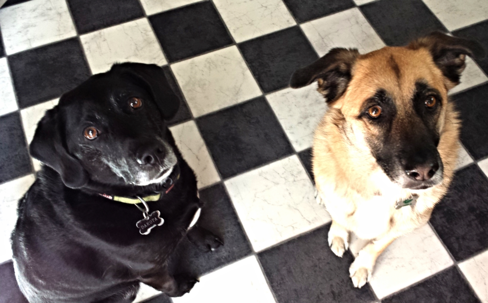 Look how well Dakota and Carolina sit for their Meaty Treats!