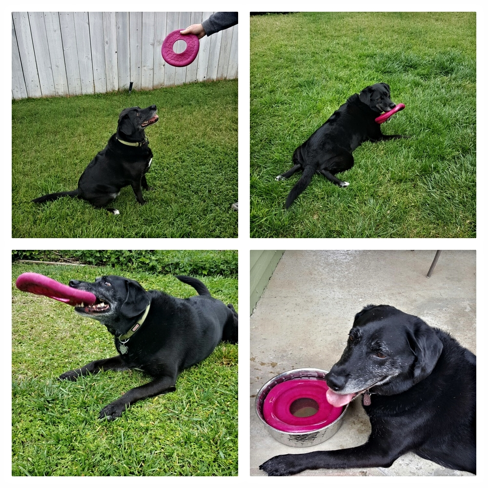 Dakota with the Zogoflex Dash. As you can see, everything lands in his water bowl, eventually.