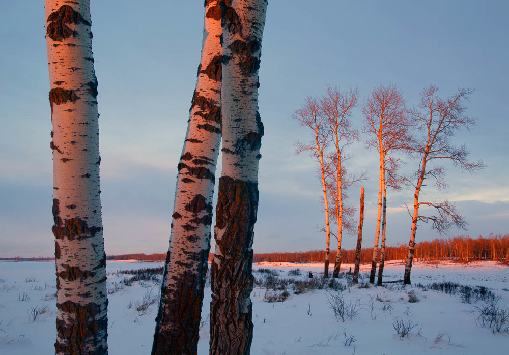 Aspens at Sunset, Elk Island National Park, 2003