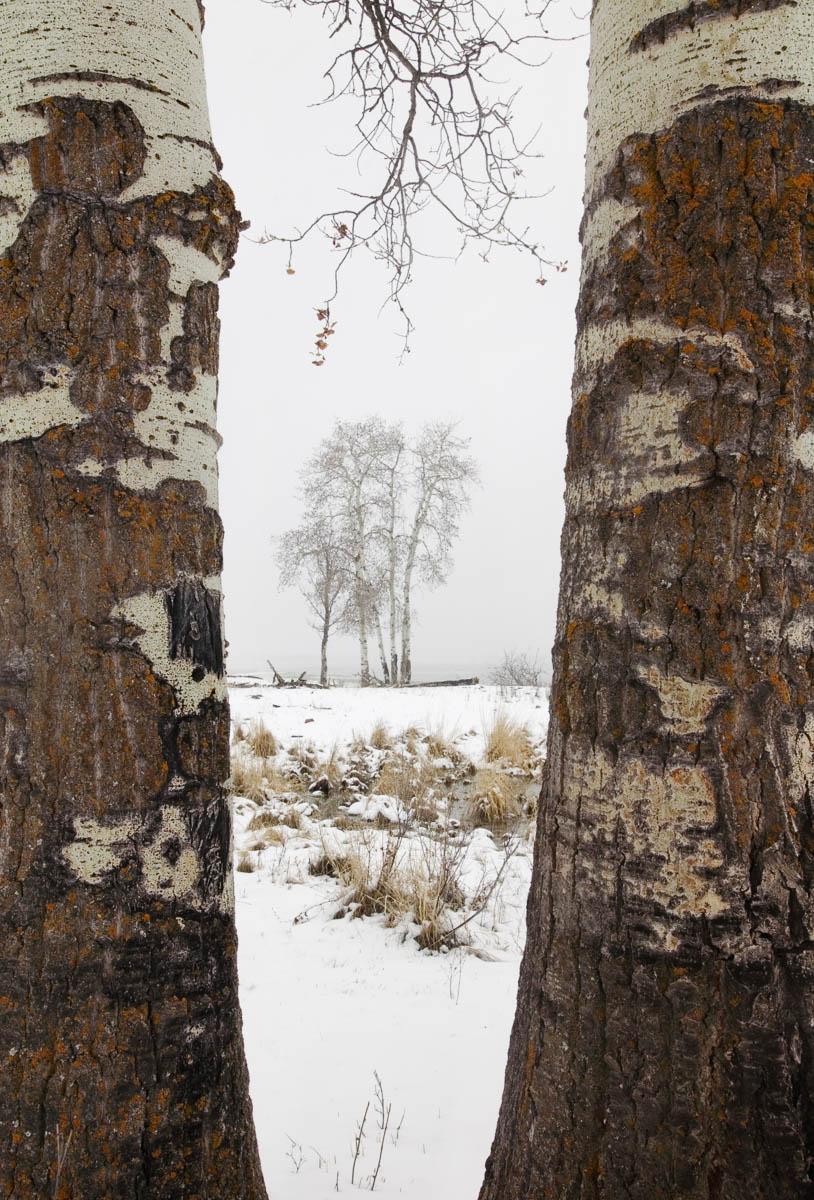 Trees in Spring Snow, Elk Island National Park, 2003